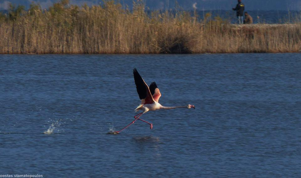 10-flamingo